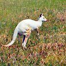 Albino Kangaroo by Bami