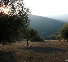 sun through the olive trees by tbshots