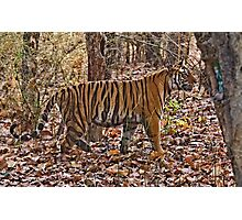 A glimpse of a tiger! Photographic Print