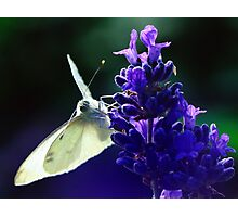 Butterfly on lavender. Photographic Print