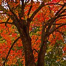 Maple Tree by Lisa G. Putman