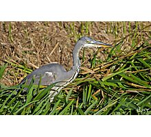 Grey Heron In Hunting Mode! Photographic Print
