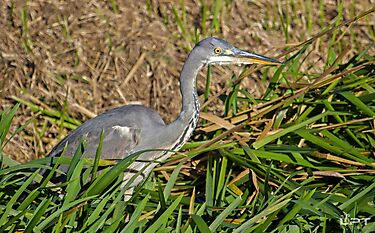 Grey Heron In Hunting Mode! by Lauren Tucker