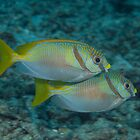 Pair of Rabbitfish by Mark Rosenstein