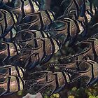 Banggai Cardinalfish School by Mark Rosenstein