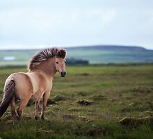 Icelandic Pony by deserttrends