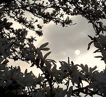 Magnolia Pale Sun by PierPhotography