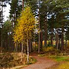 Silver Birch in Autumn by JASPERIMAGE