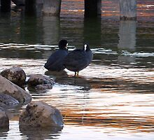 Cute Coot Couple Reflections by PierPhotography