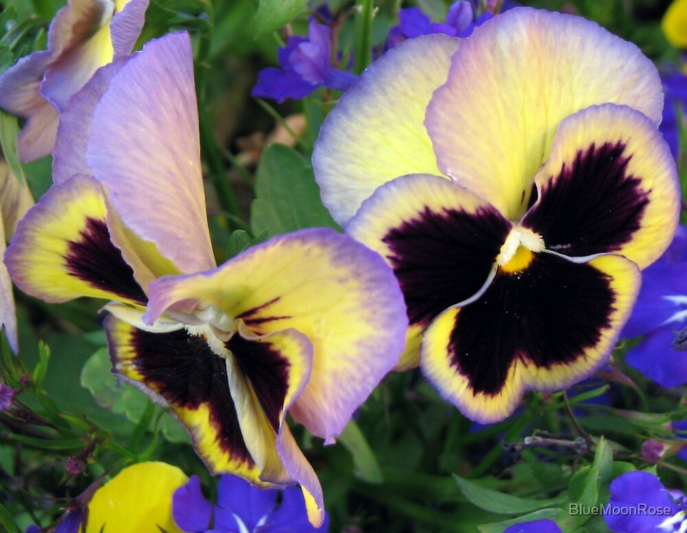 Sweet Pansies by BlueMoonRose