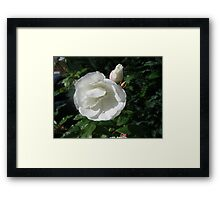 Snowy White Rose and Buds Framed Print