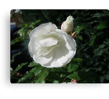 Snowy White Rose and Buds Canvas Print