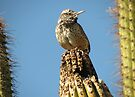 Cactus Wren on Lookout by Kimberly Chadwick