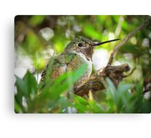 Anna's Hummingbird (Subadult Male) Canvas Print