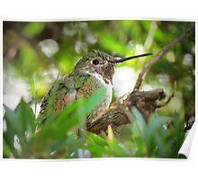 Anna's Hummingbird (Subadult Male) Poster