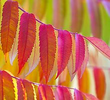 Staghorn sumac in vibrant colours. by cloud7