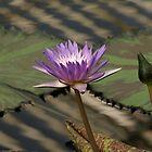 Purple Water Lilly by RachelSheree