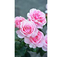 Pink spring roses Photographic Print