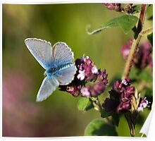 The Common Blue Poster