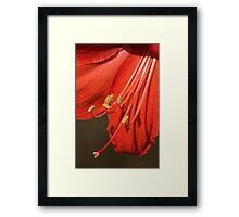 Amaryllis flower Framed Print