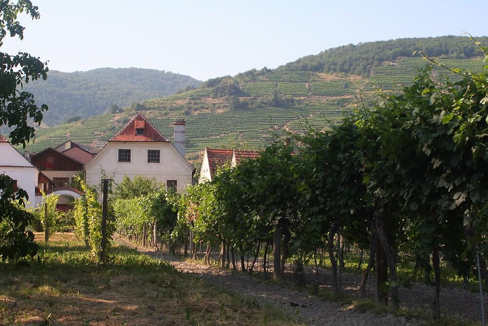 Vineyard near the Apricot stand, near the Danube, Wachau Austria by Ilan Cohen