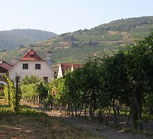 Vineyard near the Apricot stand, near the Danube, Wachau Austria by Ilan Cohen