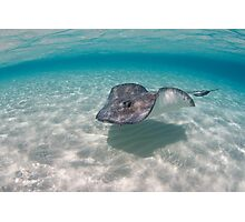 Southern Stingray Photographic Print
