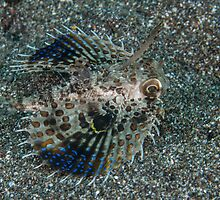 Flying Gurnard by Mark Rosenstein