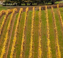 Vineyard in Autumn by DPalmer