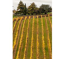 Vineyard in Autumn Photographic Print