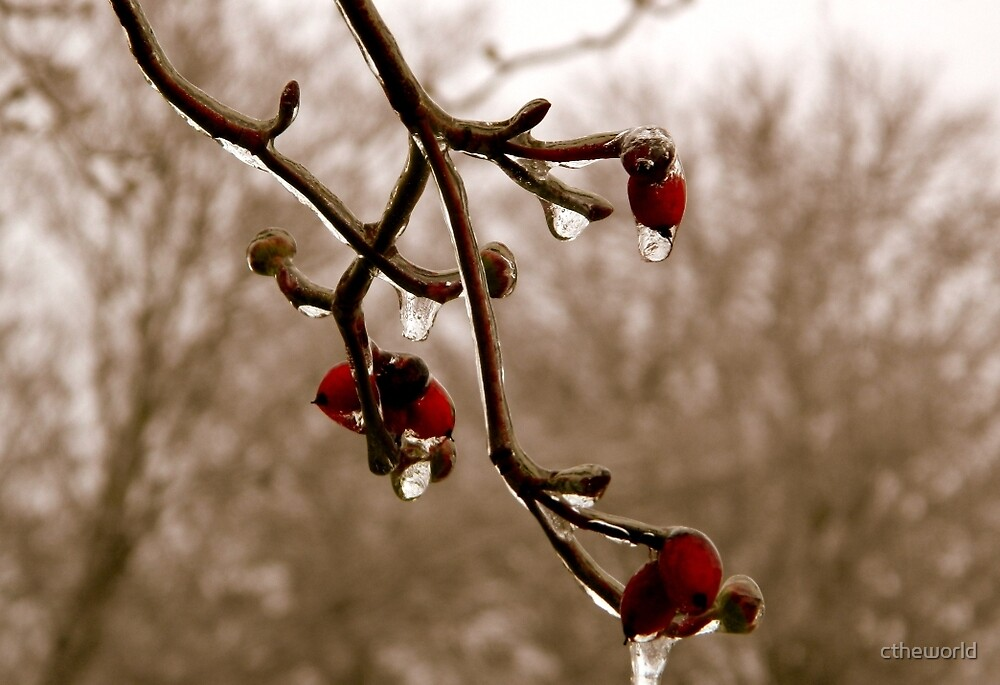 Dogwood in Winter   ^ by ctheworld