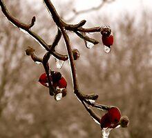 Dogwood in Winter   ^ by ctheworld