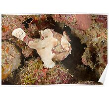 Warty Anglerfish - Dampier Strait, Indonesia Poster