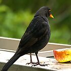 Is that a worm I spy in my breakfast ?.........said the Blackbird. by Roy  Massicks