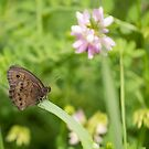 Common Wood-Nymph 2013-1 by Thomas Young