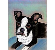 Boston Terrier Dog Photographic Print