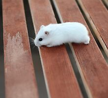 Cute White Hamster by BandanaCat