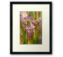 Plant - Pretty as a pitcher plant Framed Print