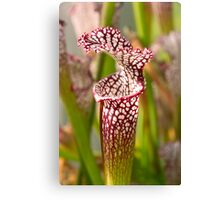 Plant - Pretty as a pitcher plant Canvas Print