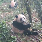 Panda bear in China by TravelGrl
