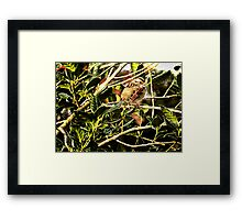 Wren In The Holly Framed Print