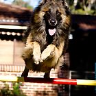 Belgian Tervueren in jump competition by Belgian Shepherd Dog Club of QLD Inc
