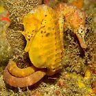 Seahorses of Kurnell by Andrew Trevor-Jones