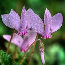 Pink Cyclamen by Colin Metcalf
