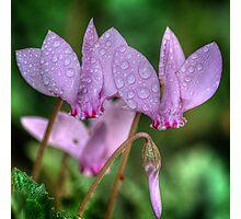 Pink Cyclamen Photographic Print