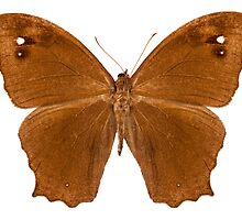 "Butterfly species Melanitis leda ""Common Evening Brown"" by Pablo Romero"