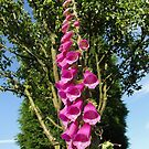 Foxglove ... They Grow Anywhere by Barrie Woodward