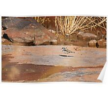 Black-fronted Dotterel Poster