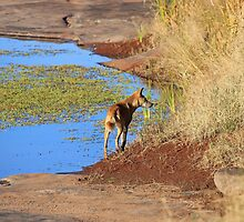 Lone Dingo by Nick Delany