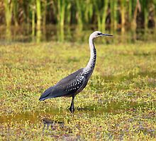 Grey-necked Heron, NT by Nick Delany